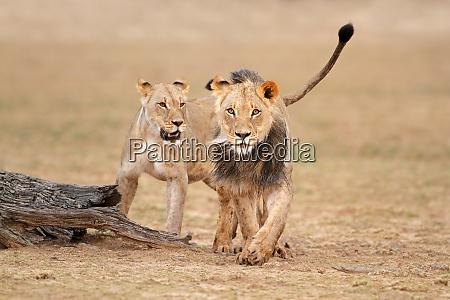 african lions kalahari desert