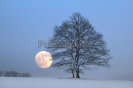 bald oak trees in snow