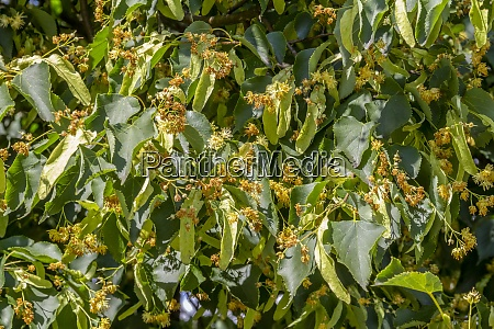lots of lime blossoms