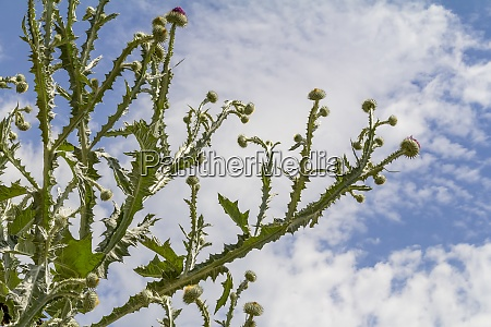 low angle thistle plant