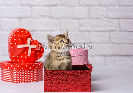 cute kitten scottish golden chinchilla straight