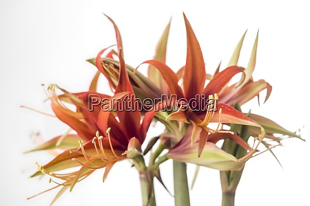 multi colored amaryllis