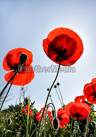 a group of deep red poppies