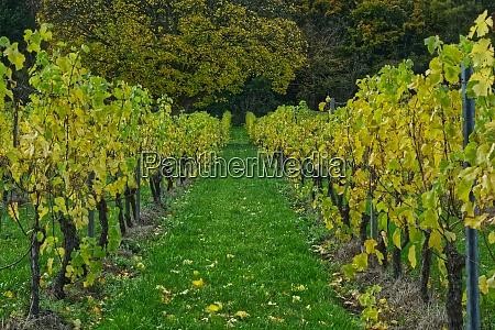 grape vines surrey england
