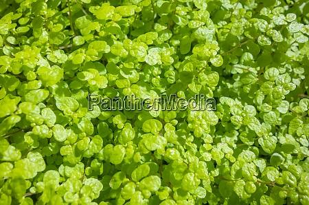 fine green leaves closeup