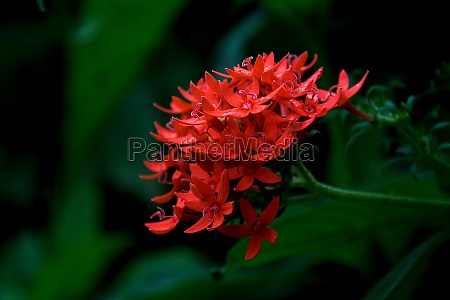 bunch of red ixora flowers