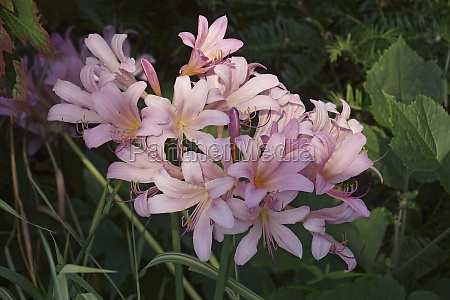 close up image of surprise lily