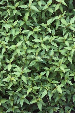 close up image of vietnamese coriander