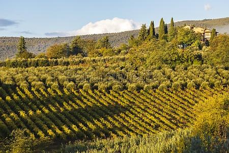 vineyard near san gimignano tuscany italy