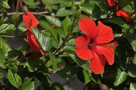 hibiscus on menorca