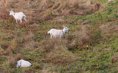 three domestic goats grazing in the