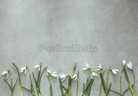 spring background with snowdrop flowers