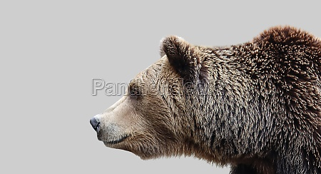 brown bear muzzle side view