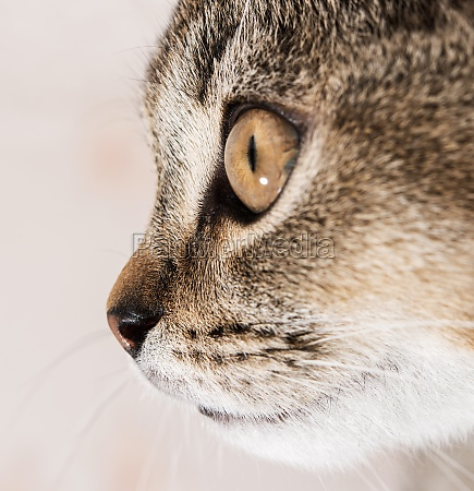tip of nose young purebred cat