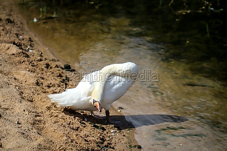a swan in his territory a