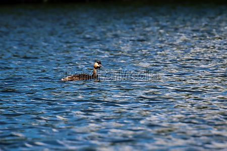 a great crested grebe swims on