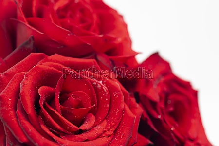 bouquet of fresh roses floral background