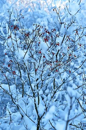 fruits of virburnum opulus in winter