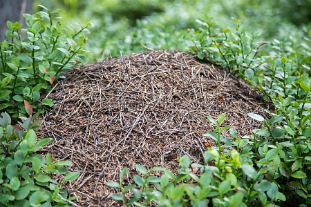 colony of ants or anthill in