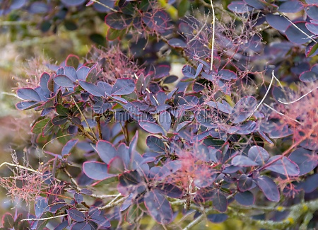 reddish foliage closeup