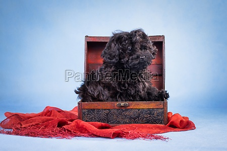 black curly haired puppy in a