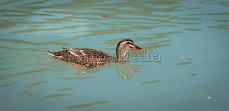 female duck is swimming in a