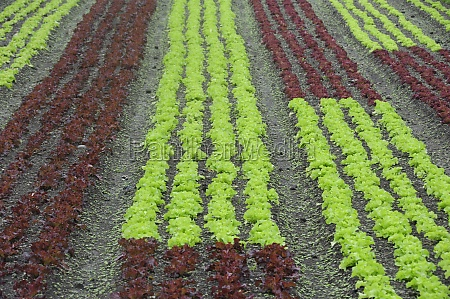 lettuce cultivation and salad growing