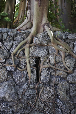 tree roots growing through rock