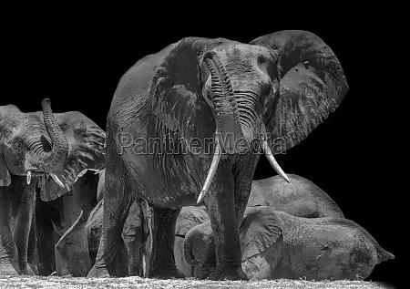 herd of elephants on the chobe