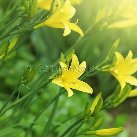 branch of flower hemerocallis lilioasphodelus also
