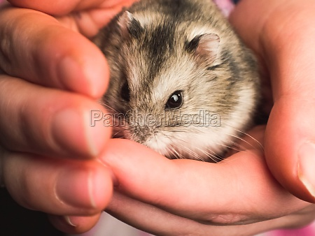 domesticated hamster in human hand homemade