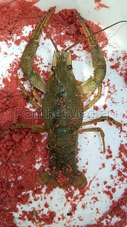 live river cancer in plate crustacean