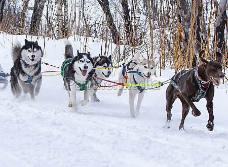 sled dog race on snow in