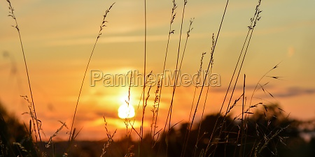 sunset with grasses silhouette