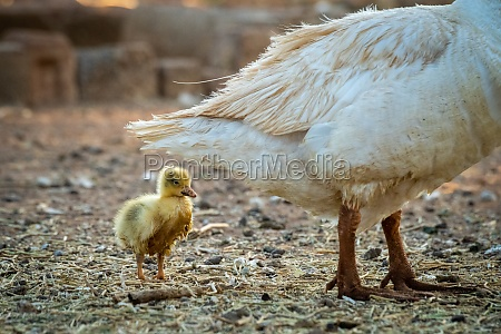 gosling stands behind mother in messy
