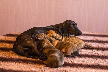 mother dachshund feeding brindle puppies