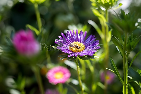 bee on blooming aster in the
