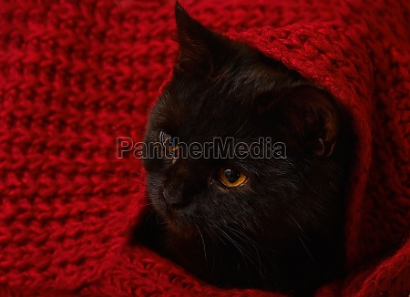 black kitten under a red knitted