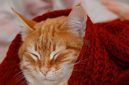 portrait of a ginger cat sleeping
