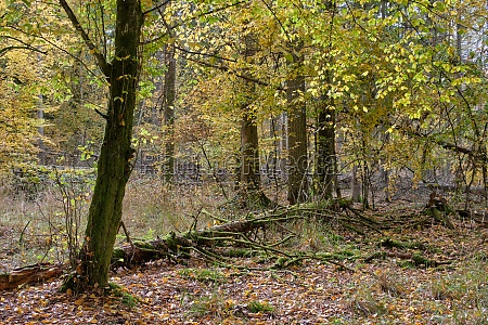 autumnal deciduous tree stand with hornbeams