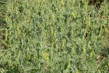 green peas in the field growing
