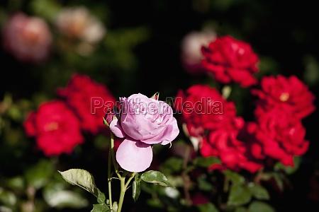 closeup of rose flowers