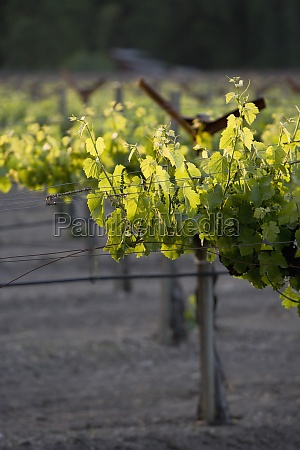 vineyard napa valley california usa