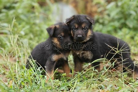 two little shepherd puppies puppies on