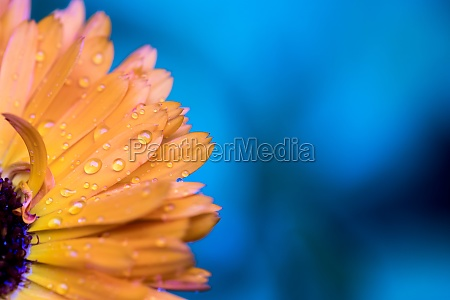 beautiful flower petals with water drops