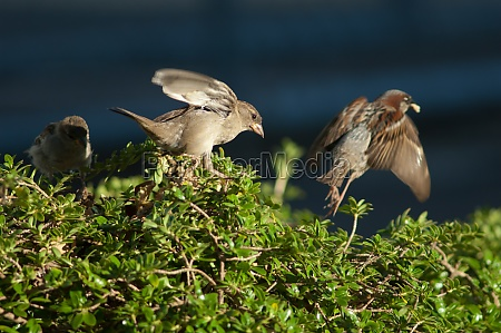house sparrows passer domesticus