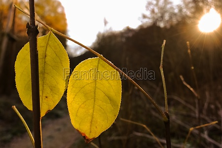 glowing yellow leaves in the sun