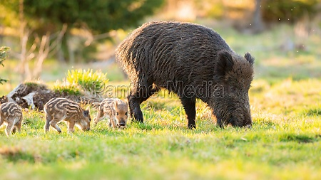 adult wild boar with piglets grazing