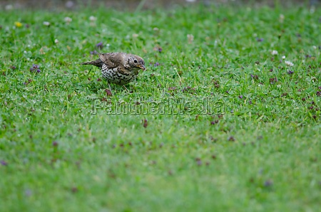 song thrush with food in its