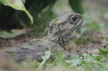northern tuatara sphenodon punctatus